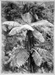 Tree fern in the New Zealand bush, photographed ca...