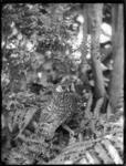 Whekau or laughing owl, photographed by Henry Wrig...